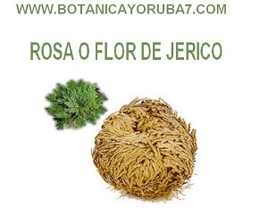 ROSA DE JERICO (Live Resurrection Plant Rose Of Jericho)